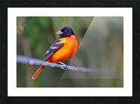 Baltimore Oriole On The Line Picture Frame print