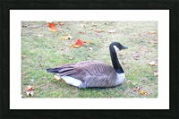 duck (3) Picture Frame print