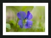 Wild Violet Picture Frame print
