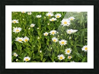 Dow Gardens Daisies 062618 Picture Frame print