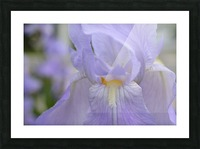 Pale Blue Iris Photograph Picture Frame print