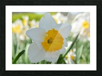 White Daffodil Photograph Picture Frame print