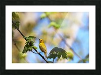 Yellow Warbler In Maple Tree Picture Frame print