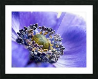 Blue Flower Anemone Close-up Macro Picture Frame print