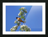Oriole And White Blossoms Picture Frame print