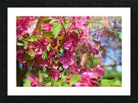 Ticonderoga Crab Apple Flowers in May Picture Frame print