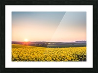 Beautiful sunset over the yellow rapeseed field. Picture Frame print