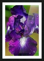 Purple With White Splash Iris Picture Frame print