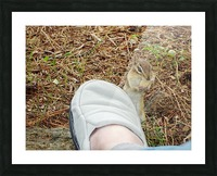 Wally The Chipmunk  - Eats  A Peanut Off My Slipper Picture Frame print