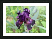 Purple Iris Impression et Cadre photo