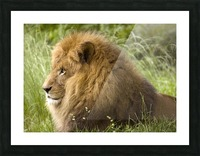 King of the Beasts Picture Frame print