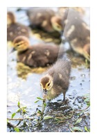 Baby - Baby Duck Picture Frame print