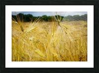 Corn Cob Landscape 06 Picture Frame print
