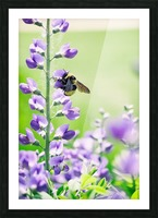Bee In Flight 2 Picture Frame print