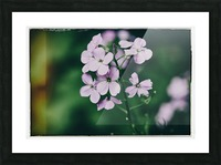 Phlox in Bloom Picture Frame print