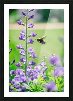 Bee In Flight Picture Frame print