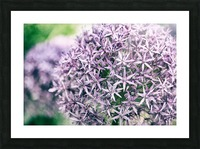 Allium in Bloom Picture Frame print