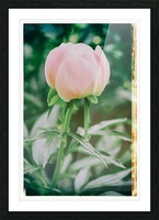 About To Bloom Picture Frame print