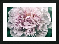 Peony Picture Frame print