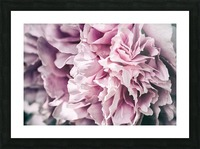 Pink Peony Picture Frame print