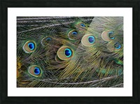 peacock tail feathers close up Picture Frame print