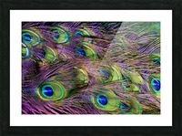 green purple and blue peacock feather digital wallpaper Picture Frame print