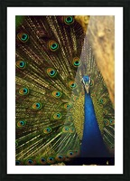 blue and green peafowl Picture Frame print