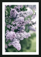 Lilacs in Spring Picture Frame print