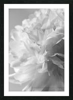 Softness in Black & White Picture Frame print