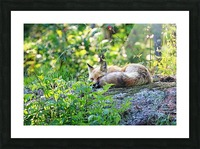 Nap Time For Red Fox I Picture Frame print