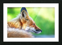 Red Fox Profile I Picture Frame print