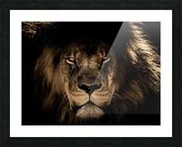 african lion wildcat mane closeup Picture Frame print