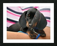 dachshund puppy young animal Picture Frame print
