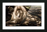 mammal lion animal portrait Picture Frame print