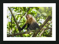 Monkey yawning in jungle Picture Frame print