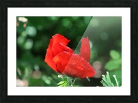 Red poppy Picture Frame print