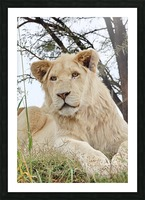 Young White Lion Male Picture Frame print
