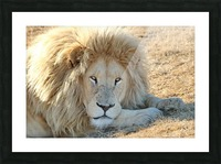 White Lion Portrait 913 Picture Frame print