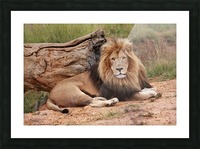 Brown Lion Male 9027 Picture Frame print