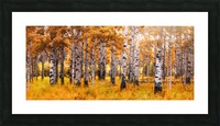 Birch Trees Autumn  Picture Frame print