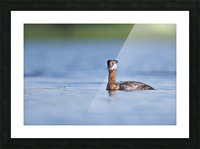 RED NECKED GREBE Picture Frame print
