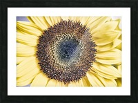 Sunflower Close Up Picture Frame print