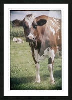 Brown Cow Picture Frame print