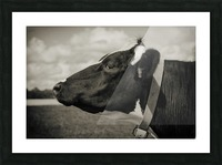 Portrait of a Cow Picture Frame print