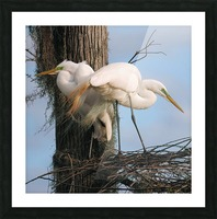 Mating Season - Great Egrets I Picture Frame print