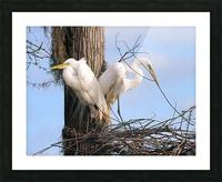Mating Season - Great Egrets II Picture Frame print
