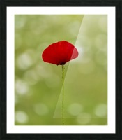 A solo Red Poppy Picture Frame print