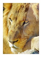 Lion Male Picture Frame print