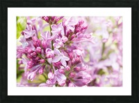 Lilacs Picture Frame print