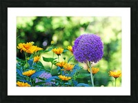 Allium And Wild Sunflowers Picture Frame print